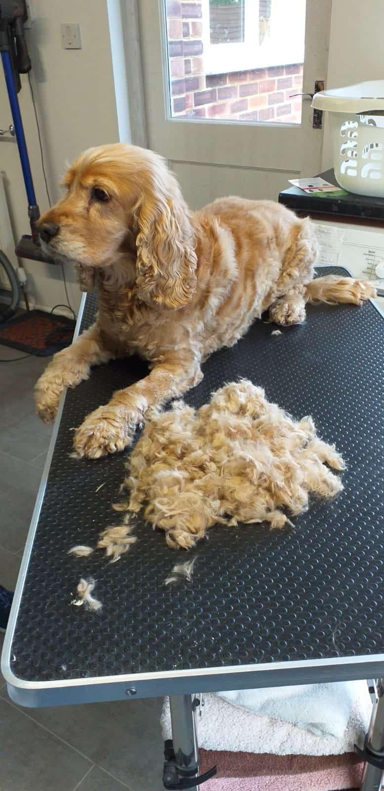Dog after haircut